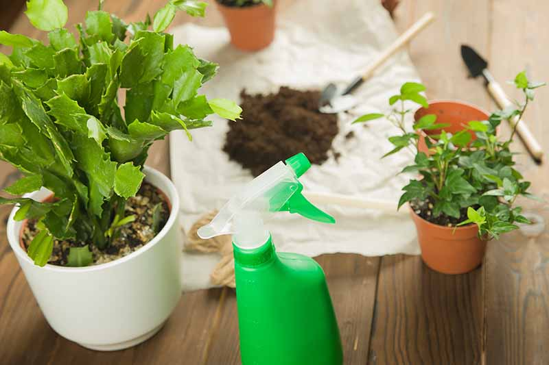 To the left of the frame is a white pot with a Christmas cactus plant in it, in the center is a green spray bottle and behind it is a white plastic sheet with a small amount of soil and two garden trowels. To the right of the frame is a pot with a small plant and an empty pot. All on a wooden surface.