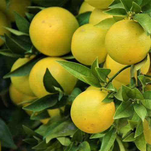 A close up of bright yellow 'Red Rio' grapefruits, ripe on the tree with foliage surrounding them.