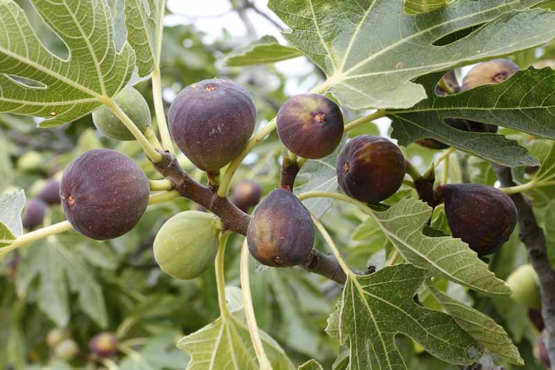 A close up of a fig tree branch with large flat leaves and several fruits in shades of purple and light green on a soft focus background.