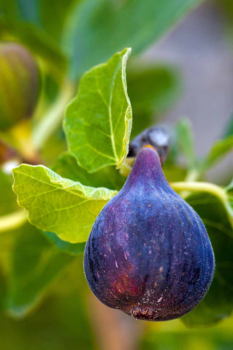 A vertical close up of a bulbous, purple fig fruit, its deep color contrasting with the bright green leaves surrounding it, on a soft focus background in light sunshine.