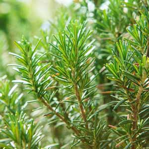 Close up of a rosemary bush growing in a kitchen herb garden.