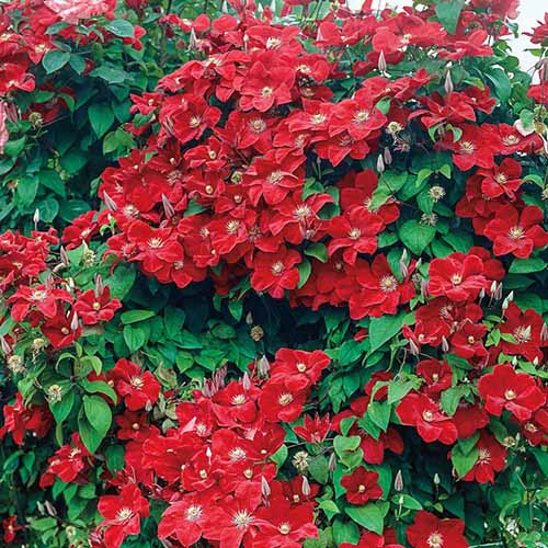 A close up of a clematis 'Rouge Cardinal' plant with bright red flowers contrasting with the green leaves, in light sunshine.