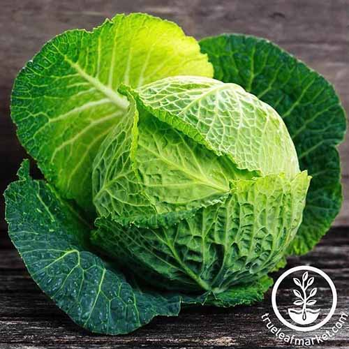 A close up of 'Savoy Perfection' variety of Brassica oleracea var. capitata with light green crinkly leaves around the head and darker green leaves on the outside, pictured in bright light on a wooden surface. To the bottom right of the frame is a circular logo with white text.