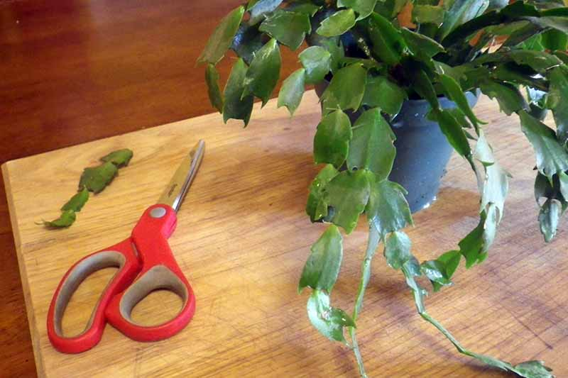 A wooden table pictured with a pair of red scissors to the left of the frame and a Christmas cactus to the right. Next to the scissors is a stem cutting taken from the plant.