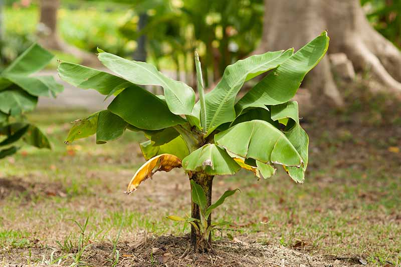 A small Musa basjoo growing in the garden surrounded by lawn with bright green leaves and a dark stem with a large tree in soft focus in the background.