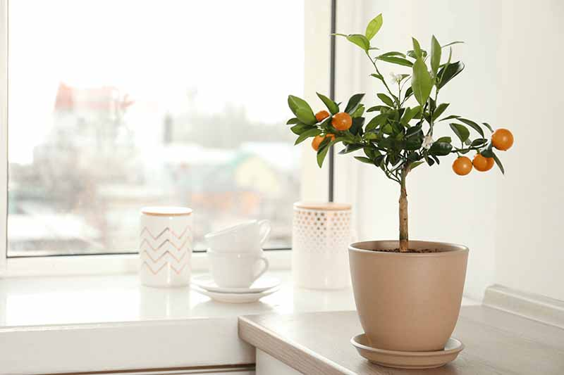 A small potted citrus tree on a kitchen counter with tea cups and white ceramic containers behind it. In the background is a window in soft focus.