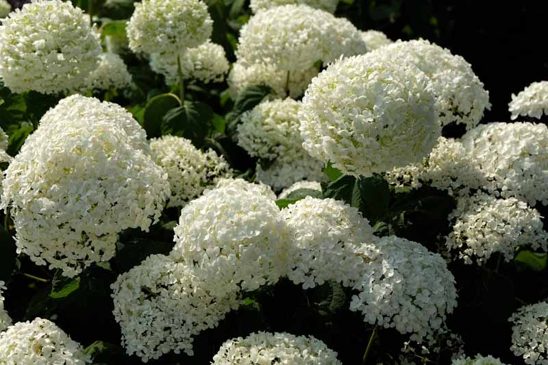 A close up horizontal image of Hydrangea arborescens 'Annabelle' with white flowers, pictured in light sunshine on a soft focus background.