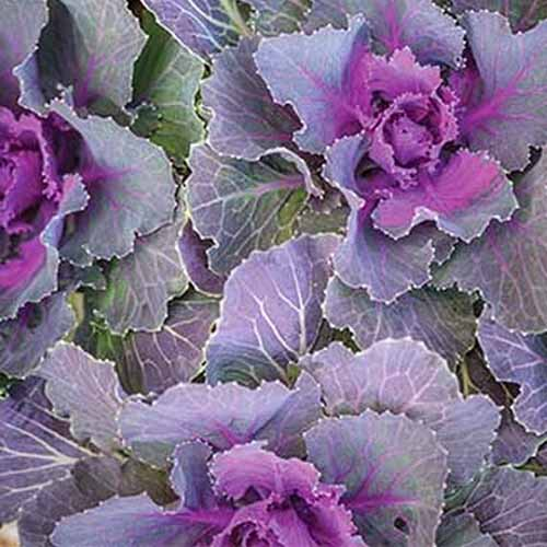 A top down close up picture of 'Song Bird Red' variety of Brassica oleracea with bright purple leaves in the center and darker purple with white veined outer leaves.