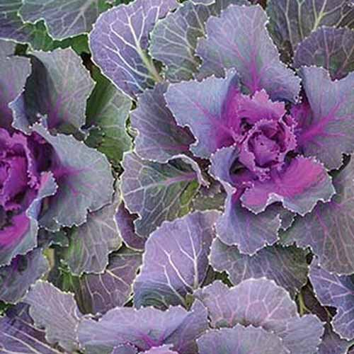 A close up of the variety 'Songbird Red' of Brassica oleracea. Pale purple leaves on the outside with pale stems contrast with the deep purple centers.