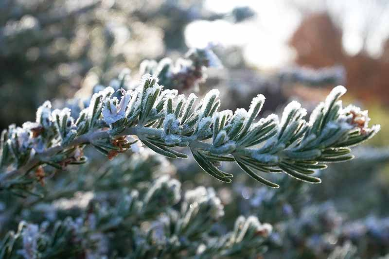 A close up of a sprig of rosemary covered in a light frost, in bright sunshine on a soft focus background of a winter garden scene.