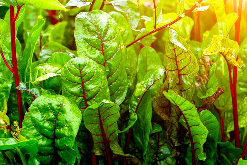 A close up of chard leaves with bright red veins and stems contrasting with the green leaves pictured in bright sunshine, fading to soft focus in the background.