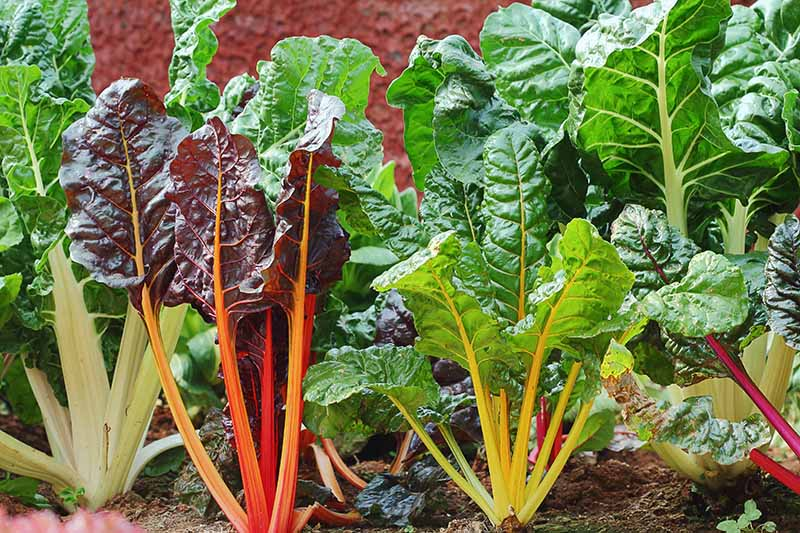 A close up of a garden bed showing a row of chard plants, each with different colored stems contrasting with the large dark green leaves. Between the plants is rich soil and the garden is pictured in light sunshine.