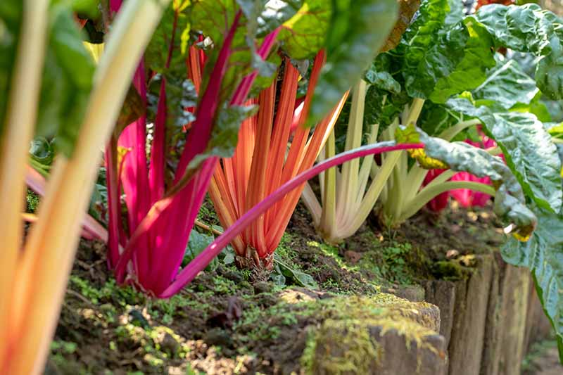 A close up of a raised garden bed with a wooden retaining all showing a row of chard plants, each with different colored stems contrasting with the large dark green leaves. Between the plants is rich soil and the garden is pictured in light sunshine.