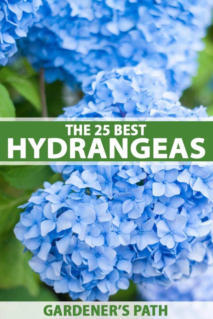 Close up of blue hydrangea flowers.
