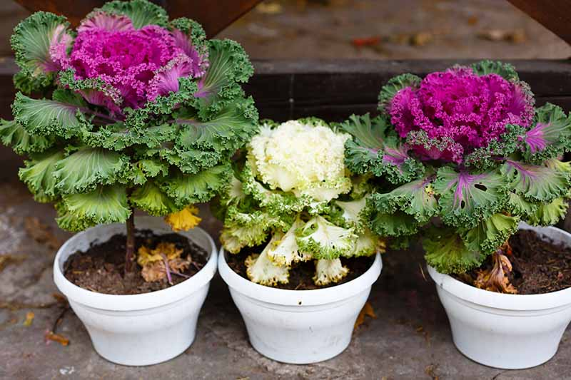 Three small white ceramic pots each planted with an ornamental flowering Brassica oleracea. Two of them have vivid purple centers and green outer leaves. One has a white center fading to light green leaves. The background is a concrete surface fading to soft focus.