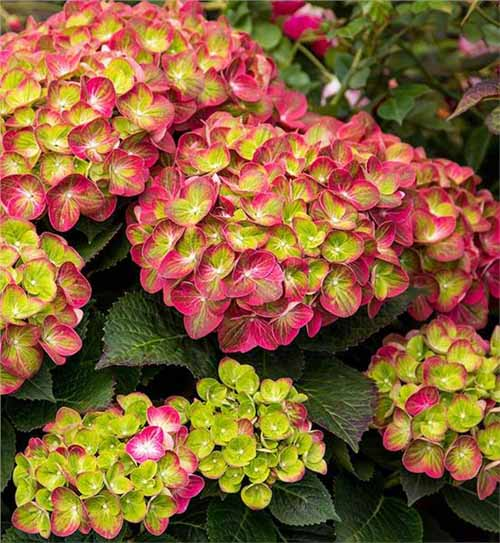 Tilt-A-Swirl Hydrangea with pink and green flowers.