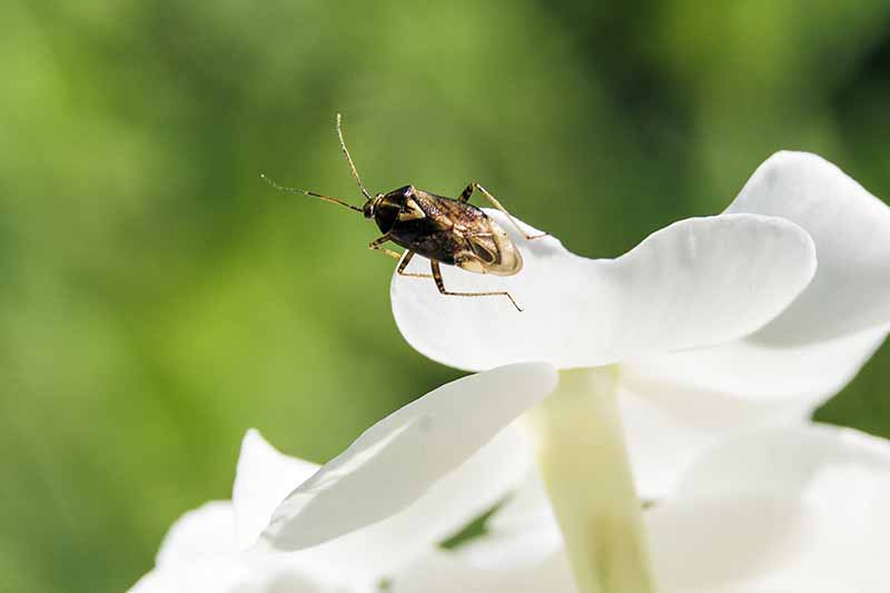 A close up of a tiny pirate bug on a white flower petal, its black and tan body contrasting against the white flower on a soft focus green background.