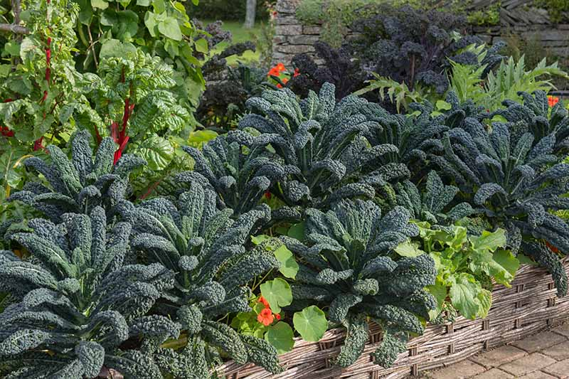 A close up of a raised garden bed with mature, healthy Tuscan kale growing amongst bright nasturtium flowers, an other leafy vegetable plants in light sunshine.