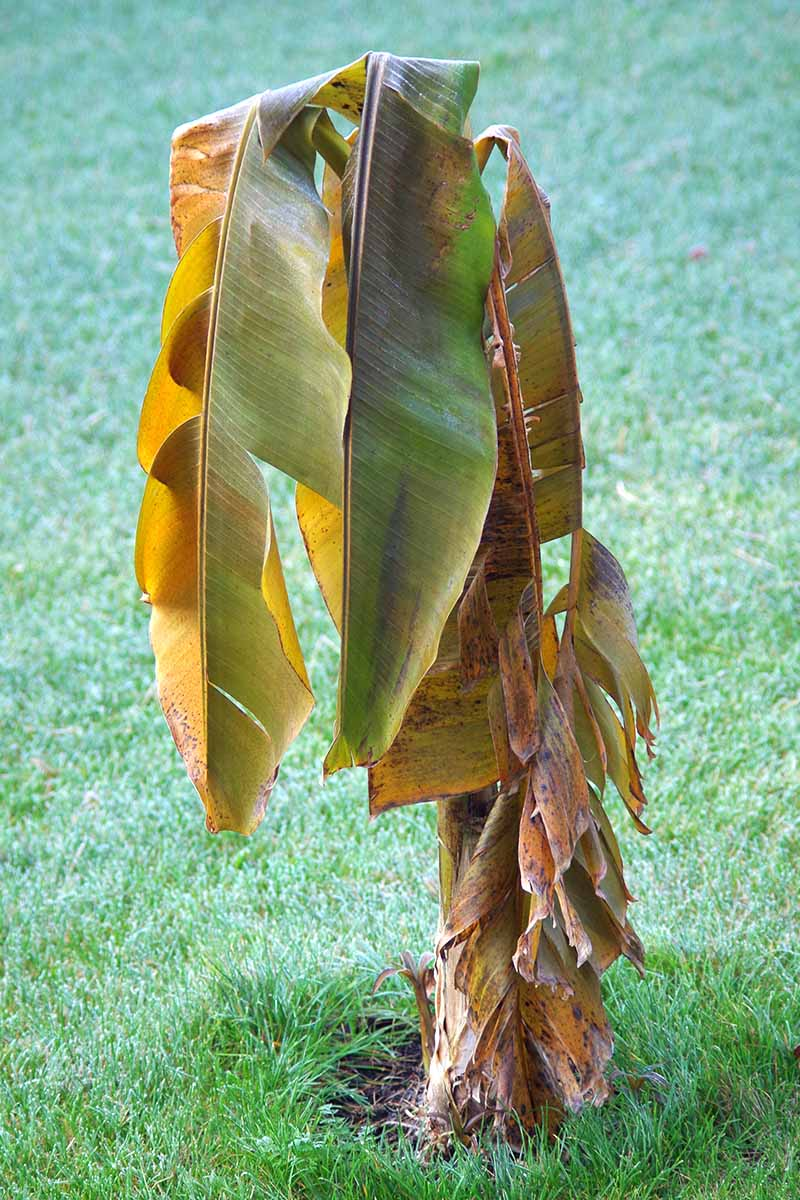 A vertical picture of a small banana tree with brown and dying leaves growing in the garden surrounded by green lawn.