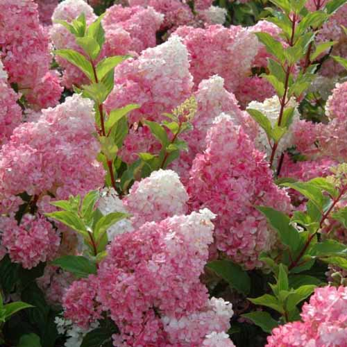 First Editions 'Vanilla Strawberry Hydrangea in bloom with pink and white flowers.