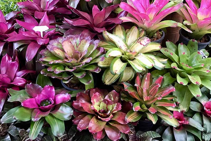 A close up of bromeliad vase plants, round shaped plants in shades of purple, green, pink, and white.