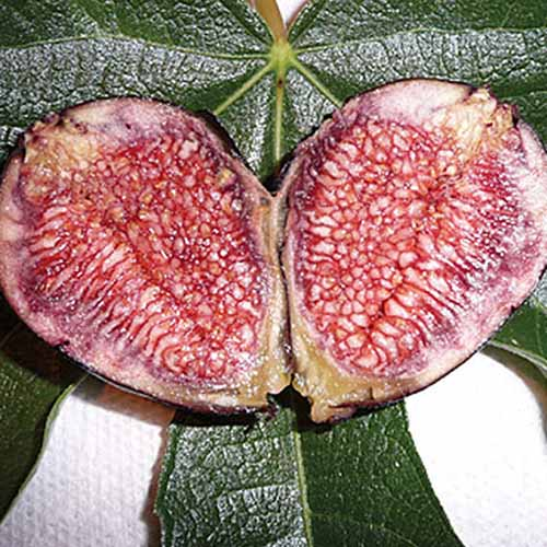 A close up of a fruit of the 'Violette de Bordeaux' variety, cut in half showing the dark purple flesh. In the background is a large dark green leaf on a white background.