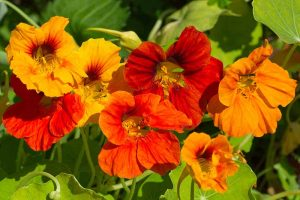 How to Care for Nasturtiums in Winter