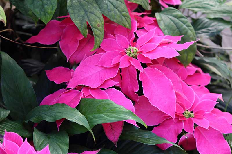 A poinsettia plant growing in the garden with vivid pink bracts contrasting with the tiny yellow flowers and deep green leaves, the background is vegetation in soft focus.