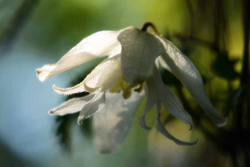 A close up of a 'White Swan' flower with delicate ivory petals on a soft focus background.