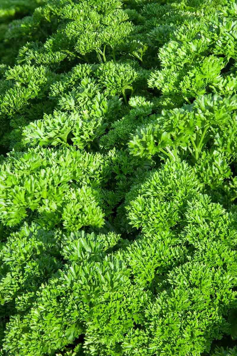 A close up of green curly parsley in bright sunlight.