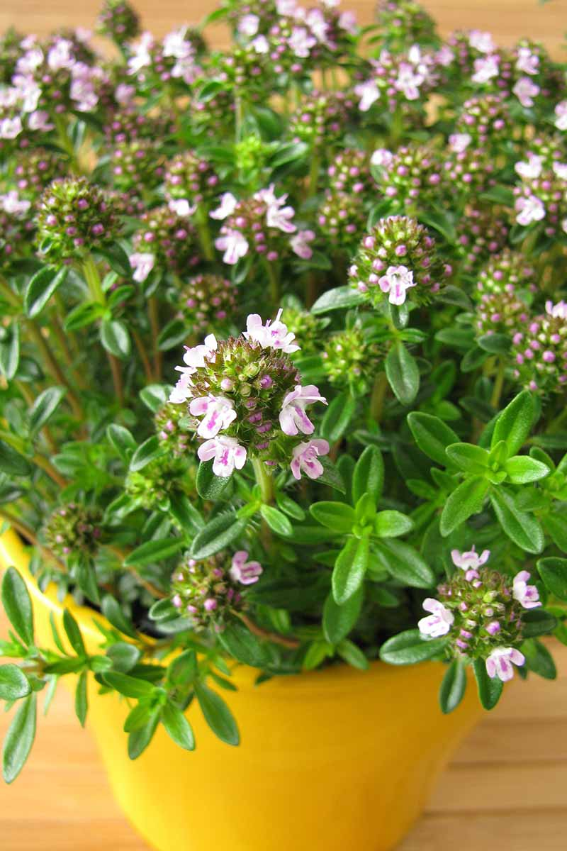 A yellow pot containing a Satureja montana plant, with tiny delicate white and pink flowers contrasting with the bright green leaves on a wooden surface.