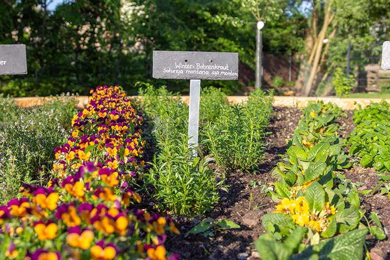 A sunny garden bed planted with rows of herbs and vegetables. To the left of the frame is bright orange and purple flowers, to the center is winter savory. In the background are trees and blue sky in soft focus.