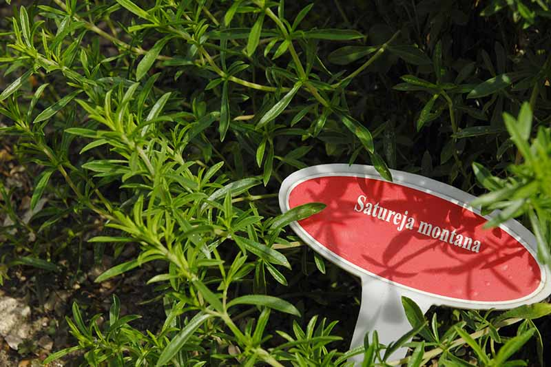 A close up of a Satureja montana plant with a red and white sign amongst the foliage.