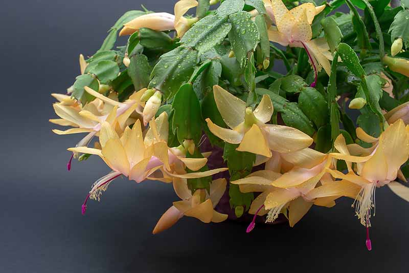 A close up of yellow Christmas cactus flowers covered in droplets of water amongst the green stems on a soft focus dark background.