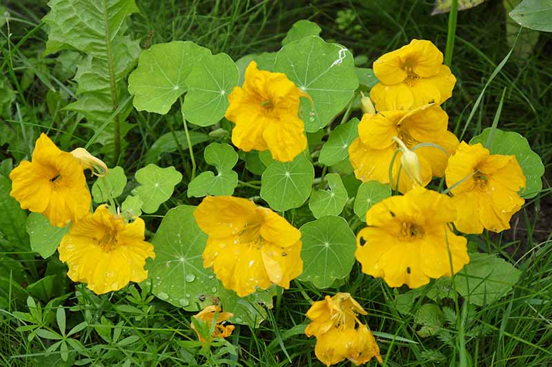 A close up of a Tropaeolum majus plant with bright yellow flowers and large flat green leaves. The background is grass and vegetation in soft focus.
