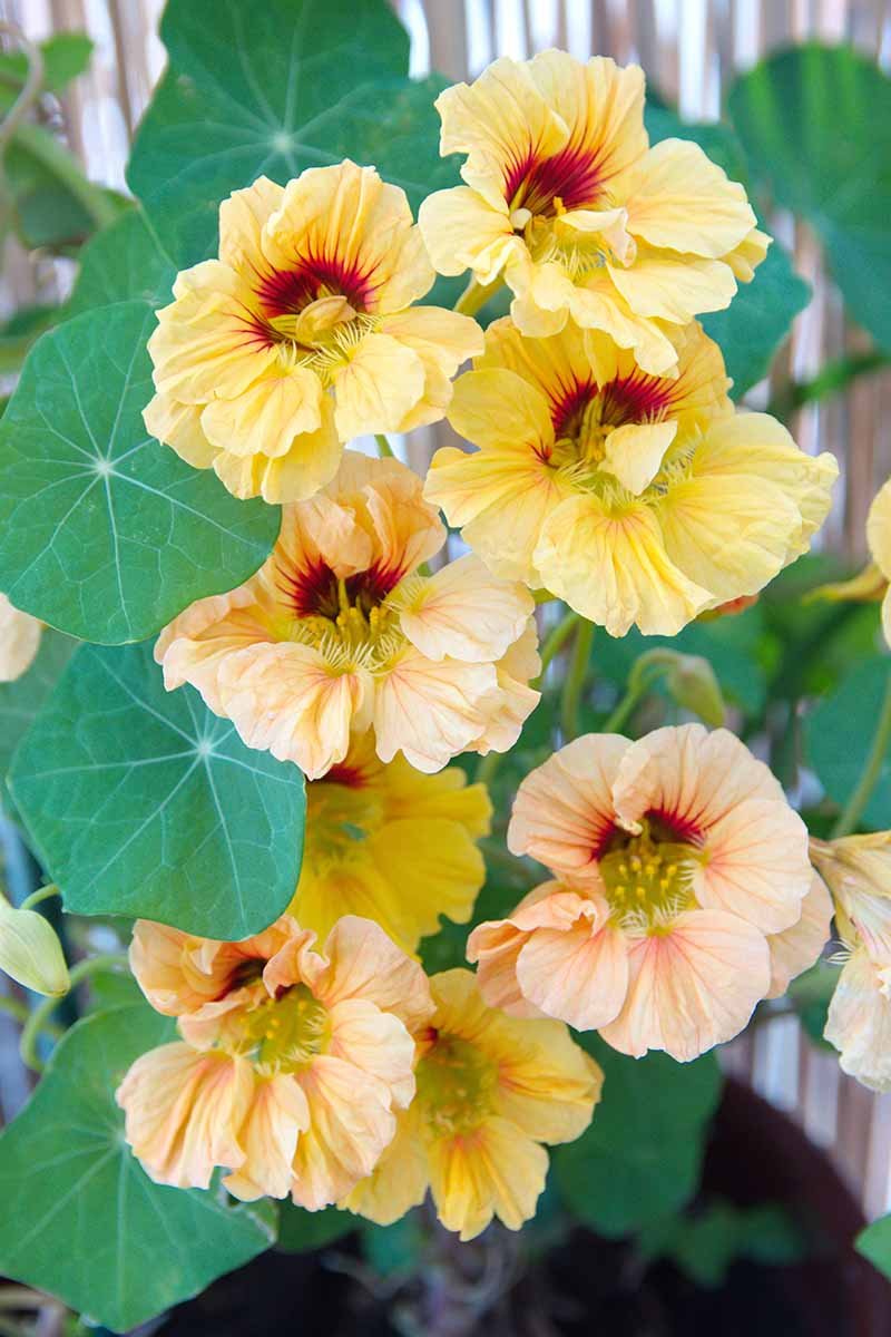 A vertical picture of bright yellow Tropaeolum majus flowers with dark red centers, contrasting with the large, flat green leaves on a soft focus background.