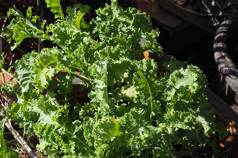 A close up of healthy, mature curly kale plants growing in a black container in bright sunshine. In the background is a black plastic pot fading to soft focus.
