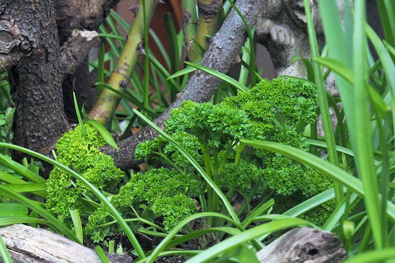 A close up of a parsley plant growing amongst other vegetation in the garden. In the background are rose bush branches fading into soft focus.