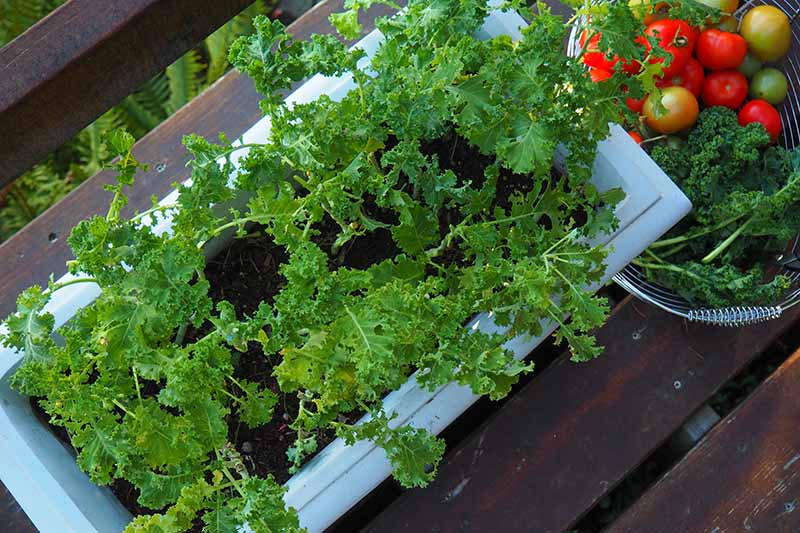 A top down close up of a blue rectangular container with curly kale growing in it. To the left of the frame is a metal wire basket with harvested leaves and tomatoes. In the background is a wooden surface fading to soft focus.