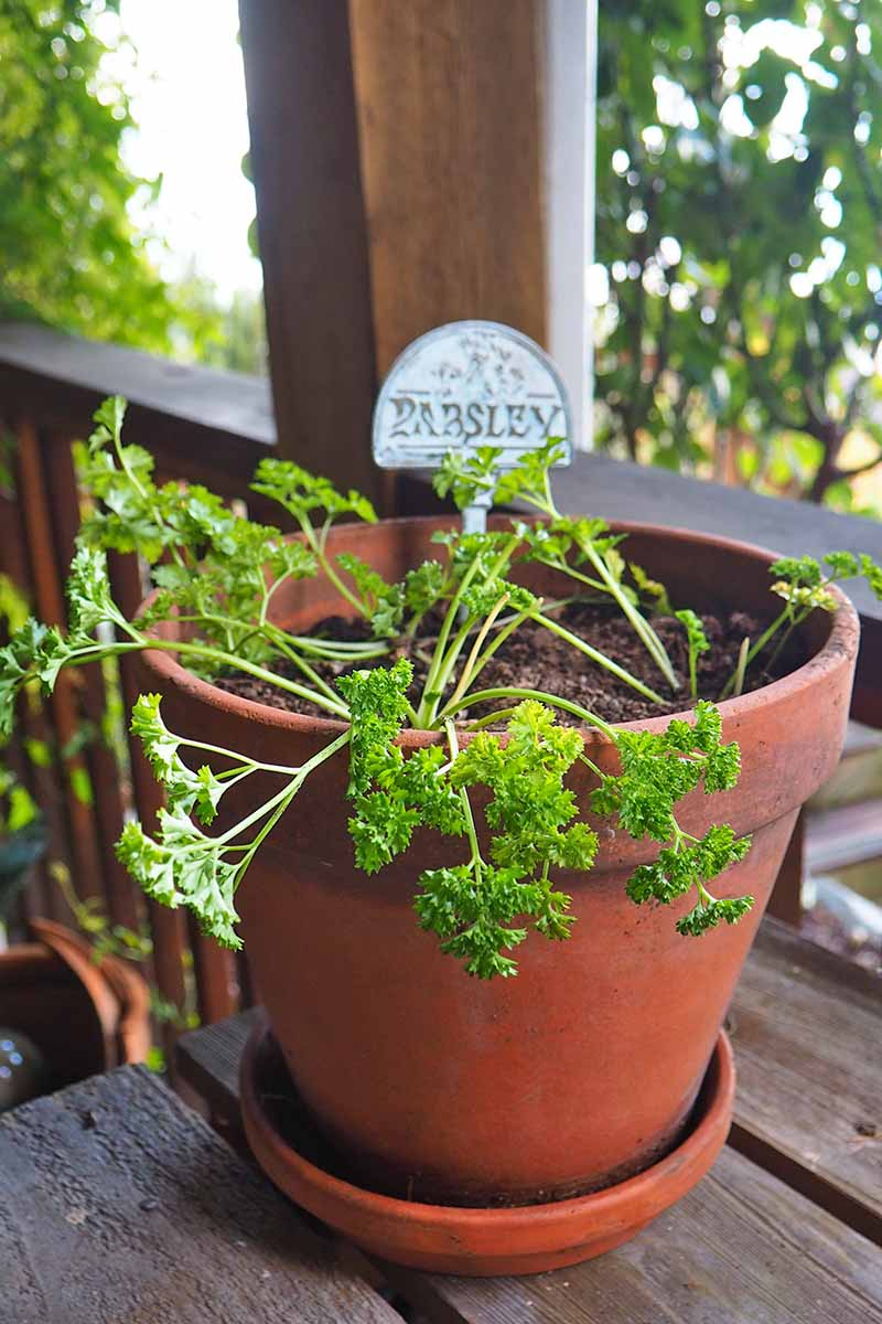 A terra cotta pot containing a small curly leaf parsley plant with a label in the soil, on a wooden table. The background is a wooden railing and vegetation in soft focus.