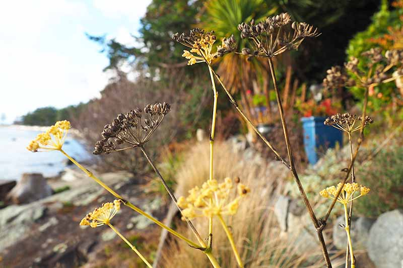A close up of seed heads, some dark brown and others yellow. In the background is ornamental grass, blue ceramic pots, and vegetation to the right of the frame and a rocky coastline to the left, in soft focus.