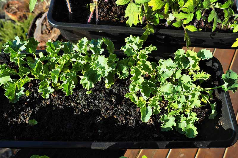 A close up of a rectangular black container planted with curly kale seedlings in dark rich potting soil. In the background is a further container with other plants, on a wooden surface.