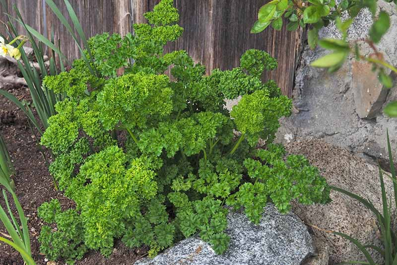 A large curly leaf parsley plant growing in the garden, with other plants nearby. To the right of the frame is a stone wall, and in the background a dark brown wooden fence.