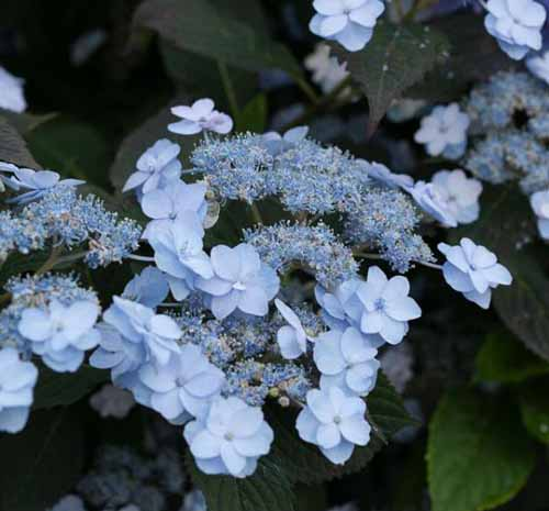 Tiny Tuff Stuff Hydrangea bloom up close Tiny Tuff Stuff Hydrangea with blue blooms.