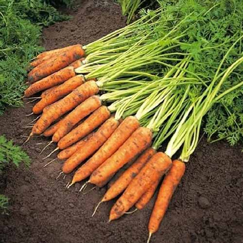 A close up of the 'Amsterdam' variety of carrots with soil on the roots and the leafy green tops still attached on a dark earth background.