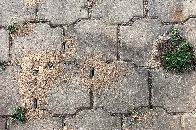 A top down close up of ant nests between pavement tiles. The little mounds of dirt are a tell tale sign of the insects making their nests underneath the paving stones.