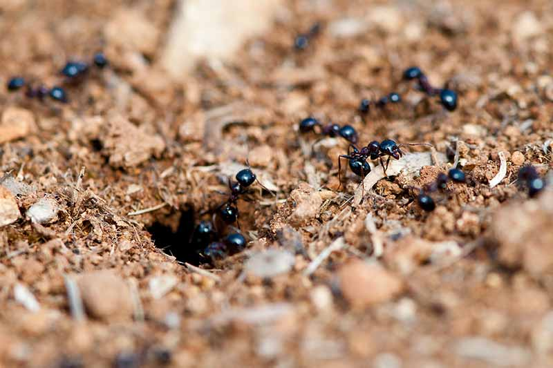 A close up of black ants emerging from a nest in the soil fading to soft focus in the background.