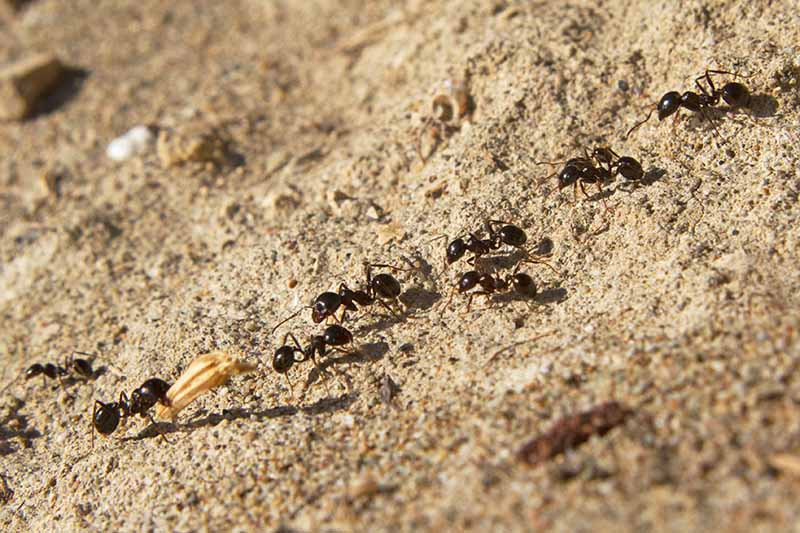 A close up of black ants moving in a trail on a sandy surface fading to soft focus in the background.