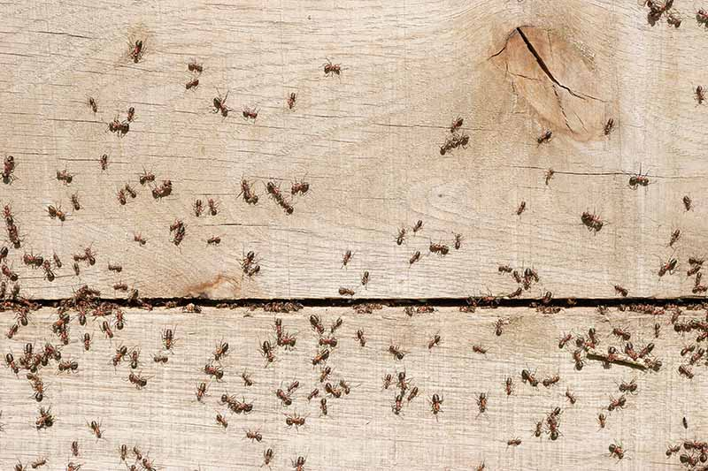 A close up of a number of ants collecting on a wooden wall of a house, making their nest in between the panels, in bright sunshine.
