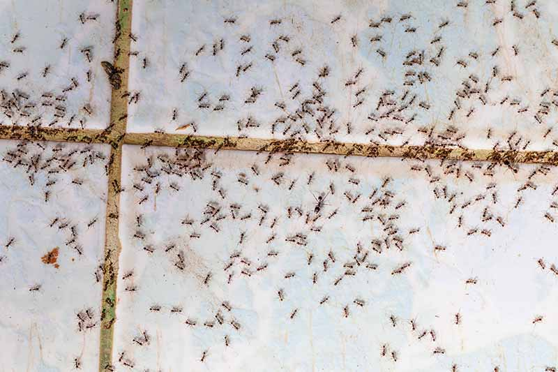 A top down close up of thousands of tiny ants on a tiled surface inside a home.